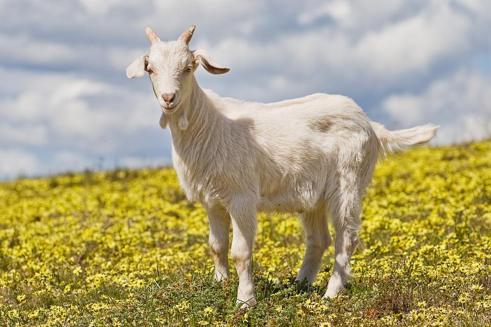 Keçinin Erkeğine Ne Denir