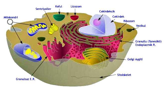 Bitki Hücresinde Bulunan Organeller Nelerdir