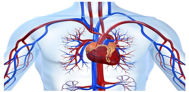 Kanın Vücutta Dolaşımını Sağlayan Yapı ve Organlar Nelerdir Kısaca
