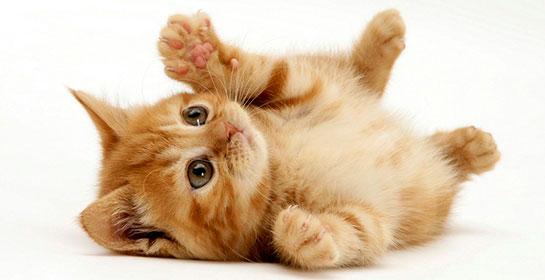 kedi Kedilerin Kaç Ayağı Var