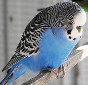 Muhabbet Kuşlarında Ayak İncinmesine Ne Yapılır